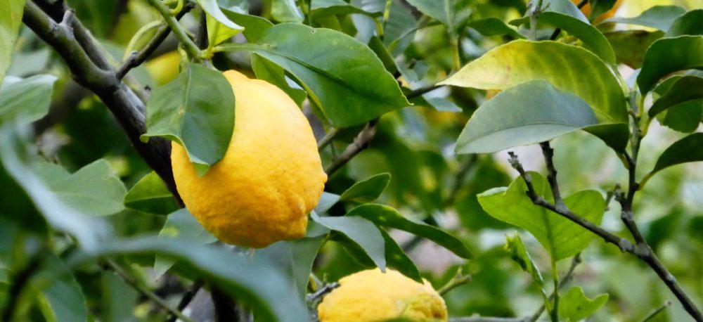 豊島レモン