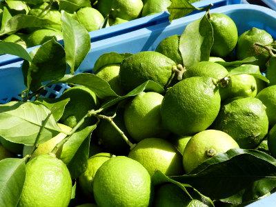 グリーンレモンの出荷開始
