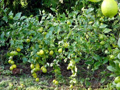 11月のレモン