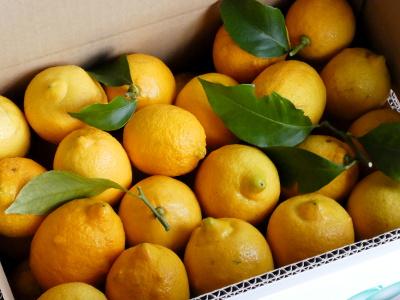 完熟レモンと斑点と搾汁
